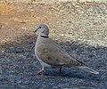 Turkduva Eurasian Collared Dove (19727972544).jpg
