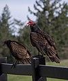 Turkey vultures (01725).jpg