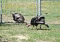 TurkeysForestryFarm.jpg
