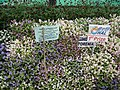 Turonia from Lalbagh flower show Aug 2013 7979.JPG