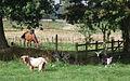 Typical farm animals at Baddesley Clinton - geograph.org.uk - 561490.jpg