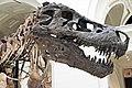 Tyrannosaurus rex (theropod dinosaur) (Hell Creek Formation, Upper Cretaceous; near Faith, South Dakota, USA) 20.jpg