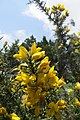 Ulex europaeus - common gorse - at Ooty 2014 (2).jpg