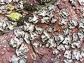 Umbilicaria grisea Jymm 02.jpg