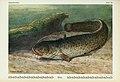 Unsere Süßwasserfische (Tafel 28) (6103147012).jpg