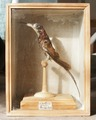 Uppstoppad kolibri från 1800-1825 - Skoklosters slott - 95029.tif