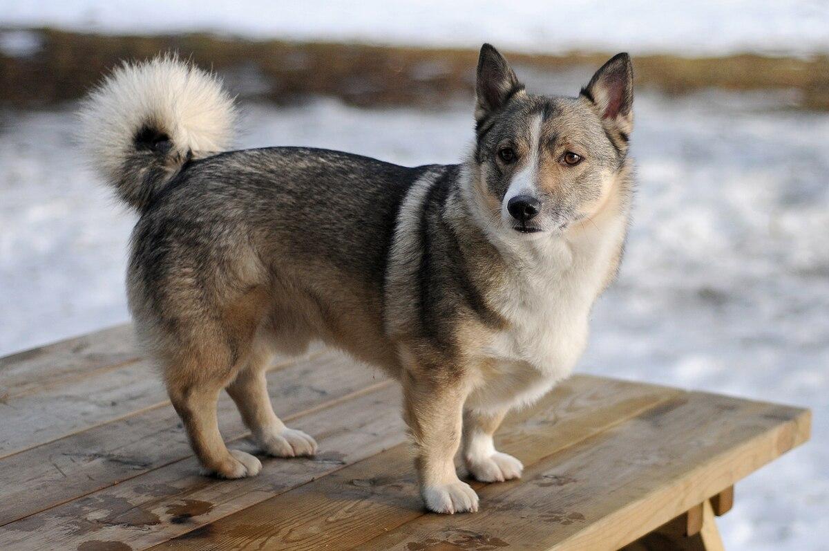 Swedish Vallhund Wikipedia