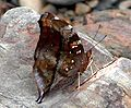 VB 068 Autumnleaf UN.jpg