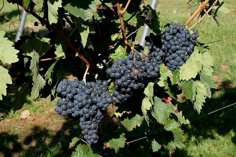 File:VIVC2098 CARIGNAN NOIR Cluster in the field 8921.jpg