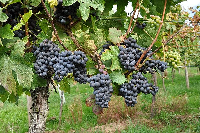 Pinotage by Doris Schneider, Julius Kühn-Institut (JKI), Federal Research Centre for Cultivated Plants, Institute for Grapevine Breeding Geilweilerhof - 76833 Siebeldingen, GERMANY