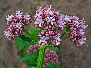 Valeriana - Garden valerian, Valeriana officinalis
