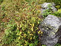 Valley of Flowers 40.JPG
