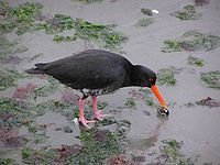 Variable Oyster Catcher-01