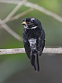 Variable Seedeater male.jpg