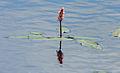 Veenwortel (Persicaria amphibia) in Nationaal Park De Alde Feanen, Locatie It Wikelslân 02.jpg