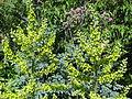 Veratrum album yellow & Thalictrum Elin (9289534955).jpg