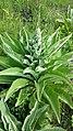 Verbascum speciosum sl18.jpg