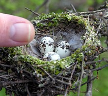 Bird nest with three eggs
