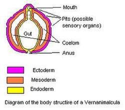 小春蟲的身體結構。