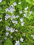 Veronica filiformis20.jpg
