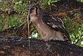 Verreaux's eagle-owl, or giant eagle owl, Bubo lacteus eating a snake at Pafuri, Kruger National Park, South Africa (20498456629).jpg