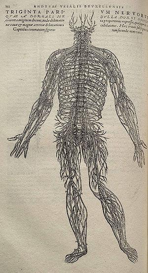 Peripheres Nervensystem – Biologie