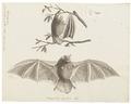 Vespertilio pictus - 1700-1880 - Print - Iconographia Zoologica - Special Collections University of Amsterdam - UBA01 IZ20800103.tif