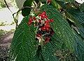 Viburnum-rhytidophyllum.JPG