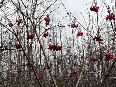 Viburnum opulus SCA-02630.jpg