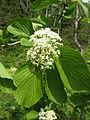 Viburnum sieboldii var. obovatifolium 1.JPG