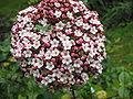 Viburnum tinus spp subcordatum (Flower).jpg