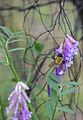 Vicia cracca flowering plant Bombus hypnorum, vogelwikke bloeiende plant boomhommel (1).JPG