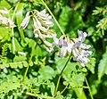 Vicia sylvatica in ZP Mont de Grange (1).jpg
