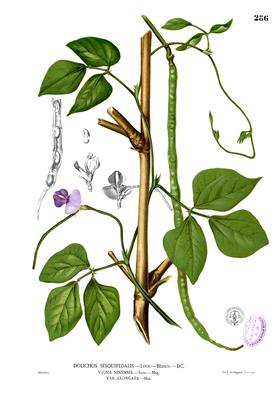 Asparagus bean (Vigna unguiculata sesquipedalis), illustration from Blanco
