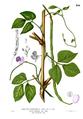 Vigna unguiculata Blanco2.286.png