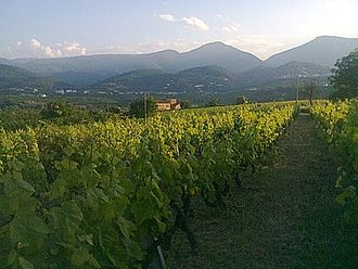 Greek wine - Vineyard in Naoussa, central Macedonia