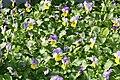 Viola Sorbet Yellow Frost 2zz.jpg