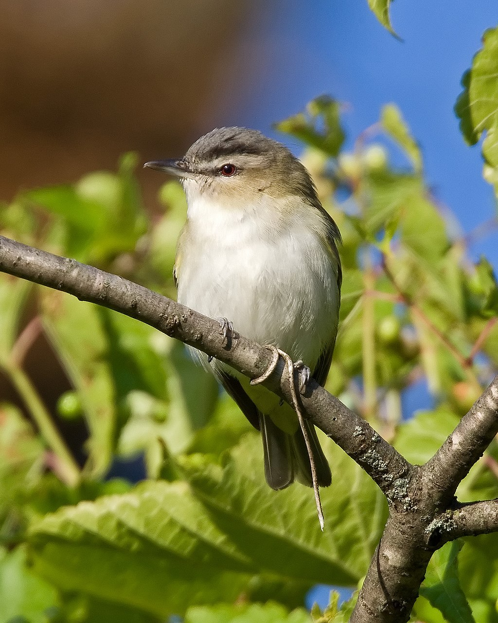 Vireo olivaceus -Madison -Wisconsin -USA-8