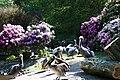Vogelpark Walsrode - Pelecanus thagus 02 ies.jpg