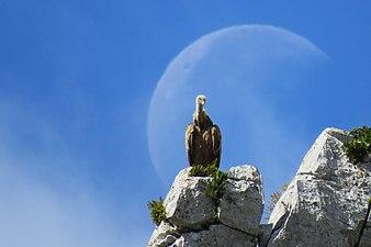 Voltor amb lluna.jpg