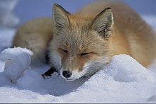 "Red fox (""Vulpes vulpes"") lying in snow"