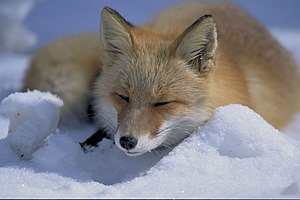 Fox - Red fox (Vulpes vulpes) lying in snow