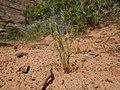 Vulpia octoflora (6243564299).jpg