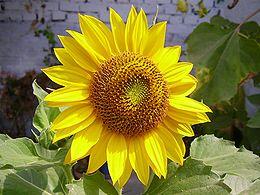 ���� ���� ����� 260px-W&Asunflower.jpg