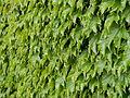 Wall of Ivy Leaves 2.jpg