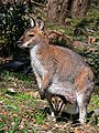 Wallaby with joey444.jpg