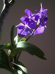 Vanda coerulea, the Blue Orchid
