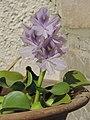 Water Hyacinth .jpg