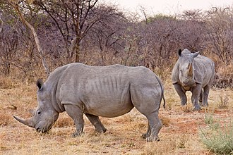 Rhinoceros - The white rhinoceros is actually grey