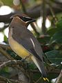 Waxwing Looking Askance.jpg